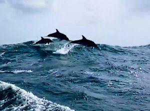 Dolphins_north-sea