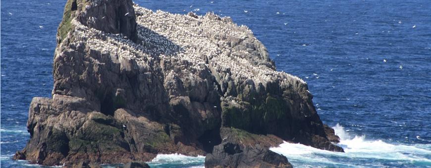 Gannet-rock